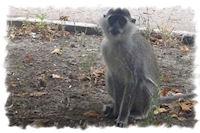 Луганск заполонили обезьяны